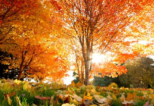 autumn, Beautiful, Trees, Maple, leaves