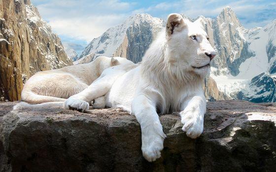 лев, кошка, хищник, белый