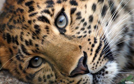 leopard, cat, spot, predator