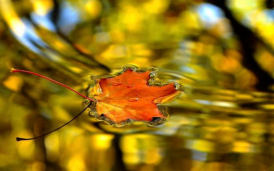 Maple-leaf, on the lake, surface of