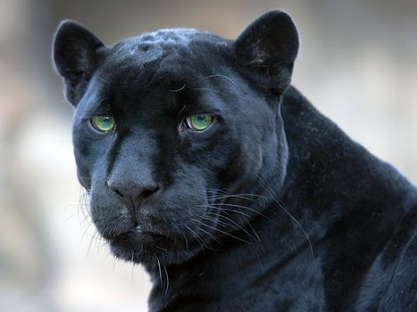 jaguar, black, panther