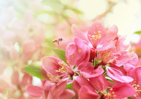 сакура, пчела, весна, цветение