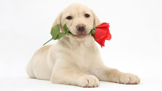 dog, puppy, labrador retriever, Labrador Retriever, flower, rose