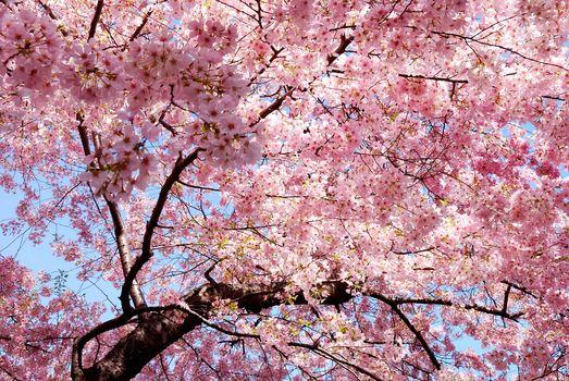 весна, розовые, лепестки, сакура, ветви, восток