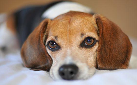 dog, Beagle, sorrow