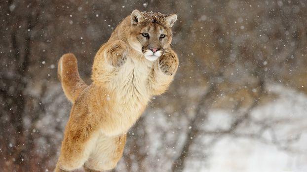 пума, кугуар, снег, прыжок, морда, лапы