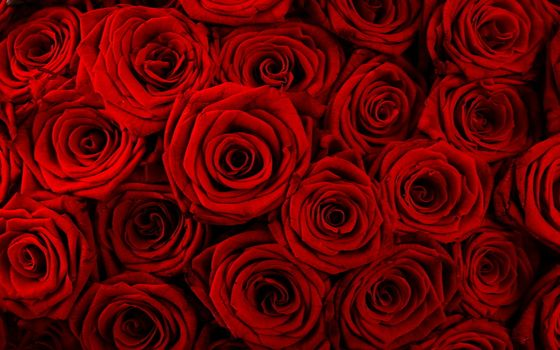цветы, розы, алые розы, бутоны