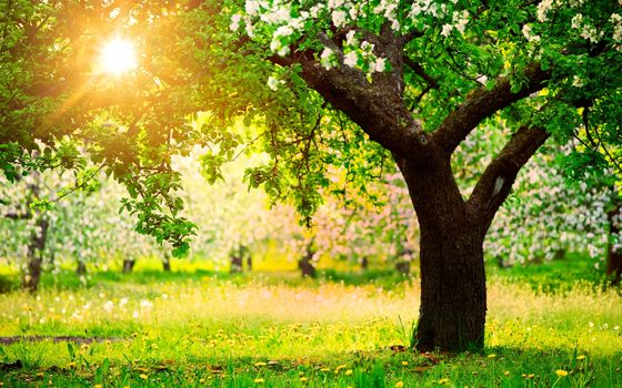 природа, весна, сад, деревья, яблони, одуванчики, солнце