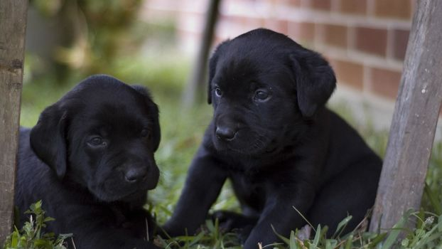 dog, labrador, Retriever, Puppies, black, doggie, happy