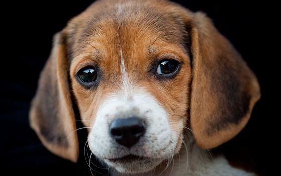 dog, Beagle, portrait