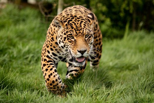 predator, leopard, meadow, grass