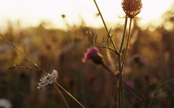 meadow, flowers, sunset, grass, meadow, Flowers, sunset, grass