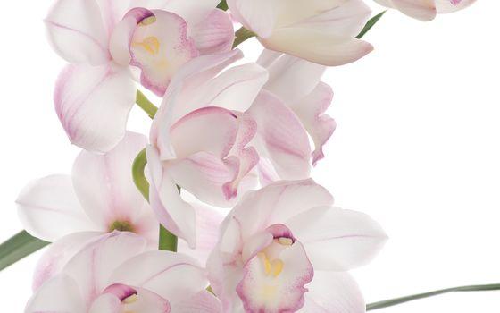 Pink ohideya, Flowers, flowers, pink orchid, white, white