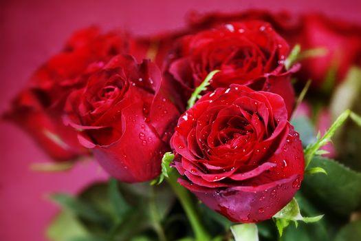 цветы, розы, красные, букет