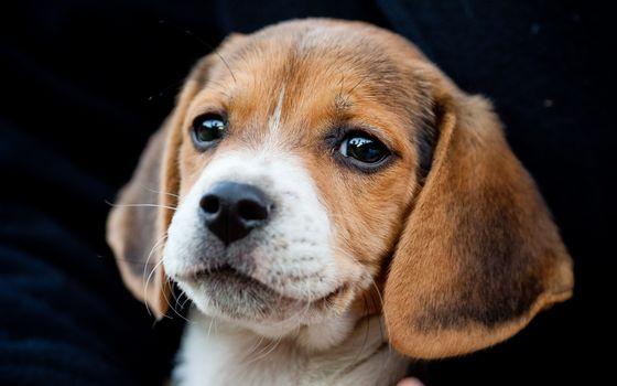 Beagle, dog, puppy