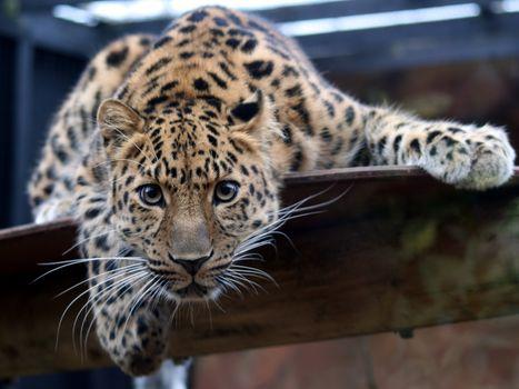 амурский, леопард, ветка