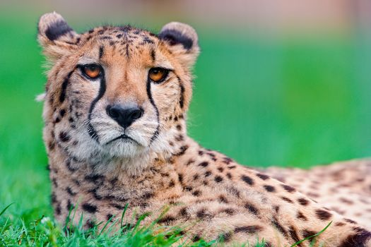 Cheetah, looking, grass