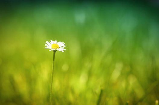 daisy, Flower, grass, meadow