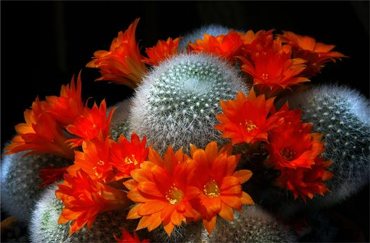 Cacti, Flowers, flora
