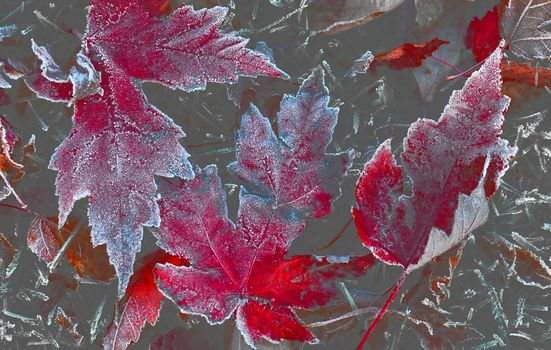 autumn, colorful, leaves, winter, frosted, fall