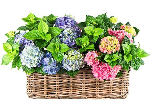 nature, flowers, Flower, basket, HYDRANGEA