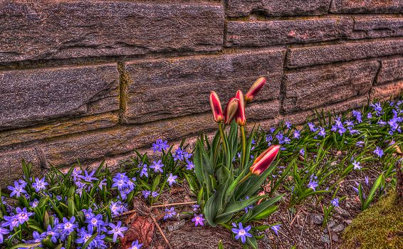 wall, Flowers, TULIPS