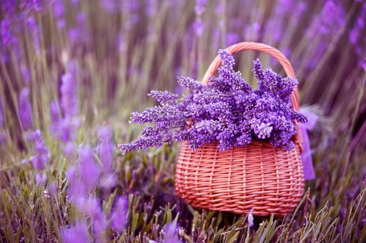 цветы, лаванда, корзина