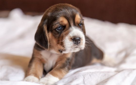 puppy, beagle, dog