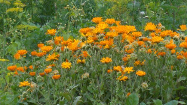 flowers, orange, garden