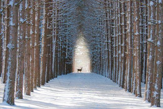 лес, зима, олень
