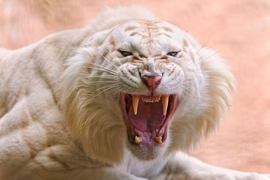 white tiger, predator, grin