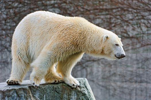 Polar bear, белый медведь, хищник