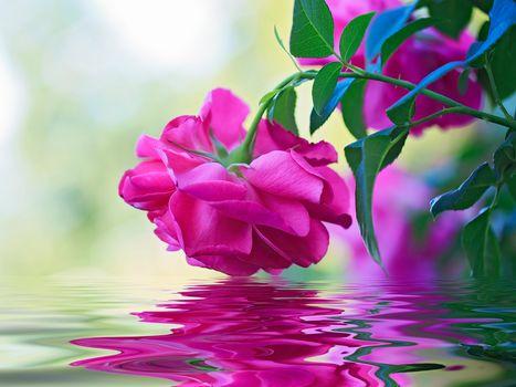 роза, бутон, вода, отражение, макро