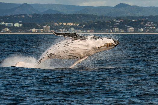 Gold Coast, Queensland, australia, Coral Sea, Gold Coast, Queensland, Australia, Coral Sea, Humpback Whale, whale, sea, city, coast
