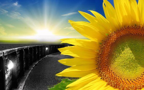 Sunflowers, f