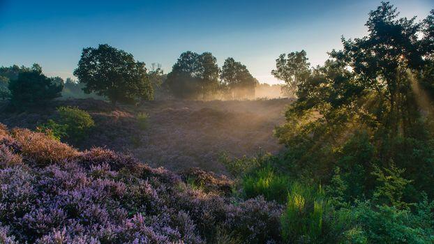 Veluwezoom National Park, Rheden, Gelderland, Netherlands, Национальный парк Велювезом, Реден, Гелдерланд, Нидерланды, утро, рассвет, лучи, вереск, деревья