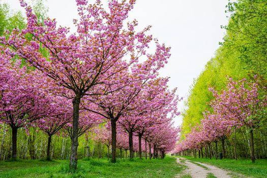 cherry, SPRING, garden, park, trees, road, Flowers, landscape