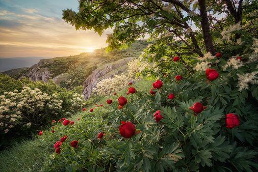 Yaylata reserve, Bulgaria, Yailata, Bulgaria, DAWN, Peonies, Flowers