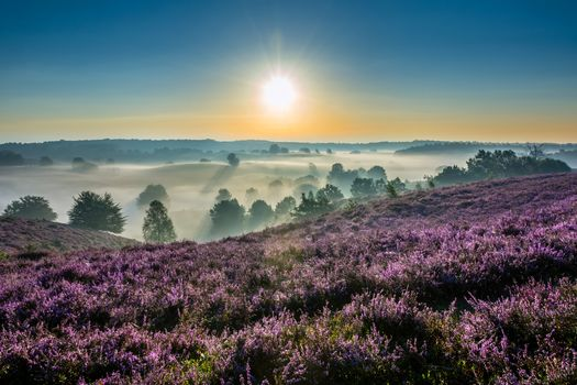 Hoge Veluwe National Park, Gelderland, Netherlands, National Park De Hoge Veluwe, Gelderland, Netherlands, morning, DAWN, rise, fog, heather