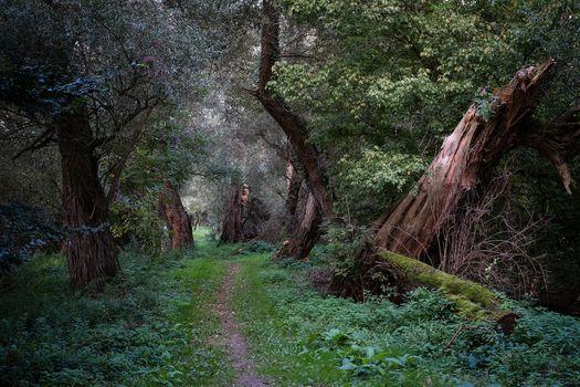 Лес, тропинка, трава, деревья, природа