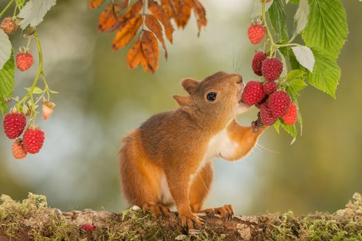 squirrel, Redhead, raspberries, BERRY