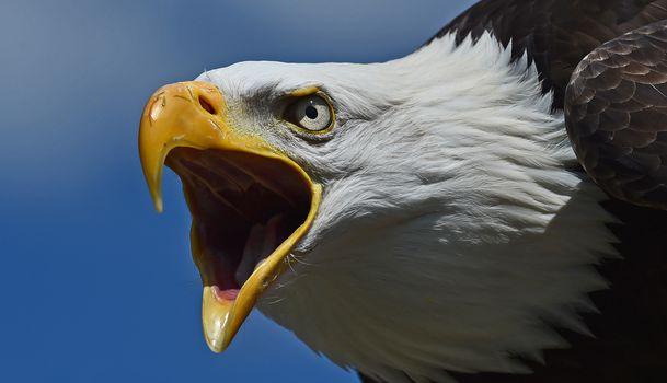 Белоголовый орлан, ястреб, птица, хищник, голова, клюв