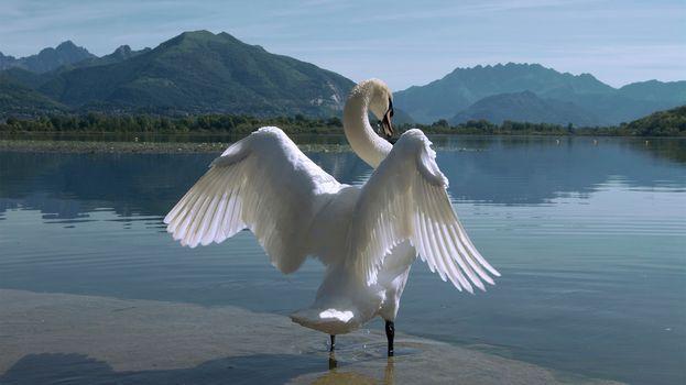 лебедь, птица, крылья, озеро, горы, природа