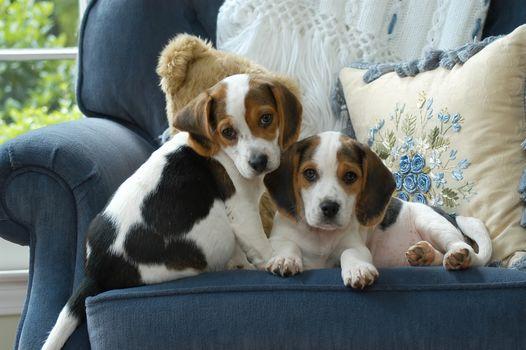 beagle, Dog, Puppies, kids, couple, twins, cushion, chair