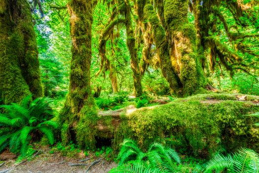 Hoh Rainforest, Olympic National Park, Washington, forest, trees, moss, nature