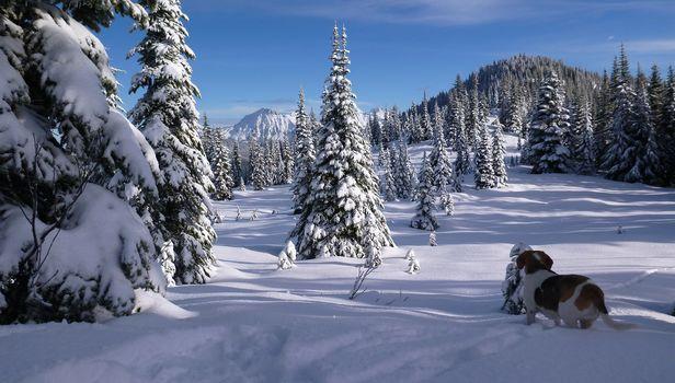 North Cascades, Cascade Range, Chilliwack, British Columbia, Canada, Cascade mountains, Chilliwack, British Columbia, Canada, winter, snow, Mountains, forest, trees, spruce, dog, beagle