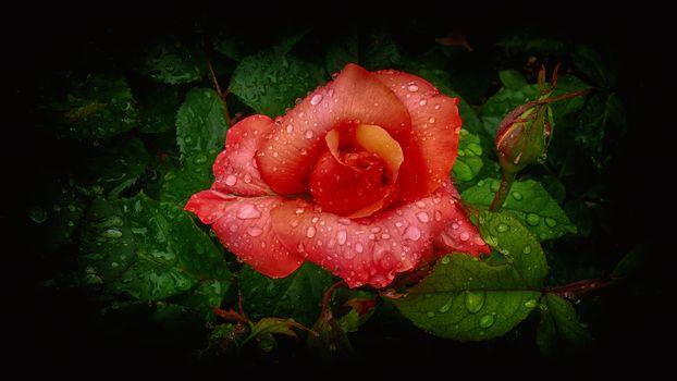 цветок, роза, листья, капли, бутон, роса, флора
