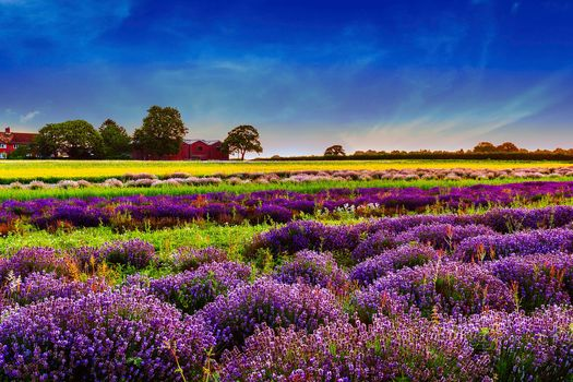 Flowers, landscape, nature, lavender, field, Lavender Field, field of lavender