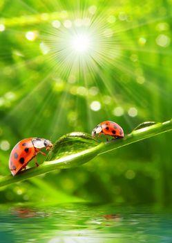 ladybugs in the garden, light, sun, fresh air, water, drops, greens, summer, krasotinushka, ladybug, BEETLE, beetles, Macro, Rendering, Insects, dew