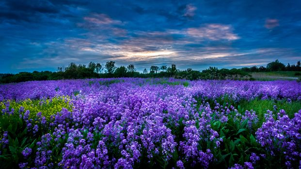 sunset, field, Flowers, landscape